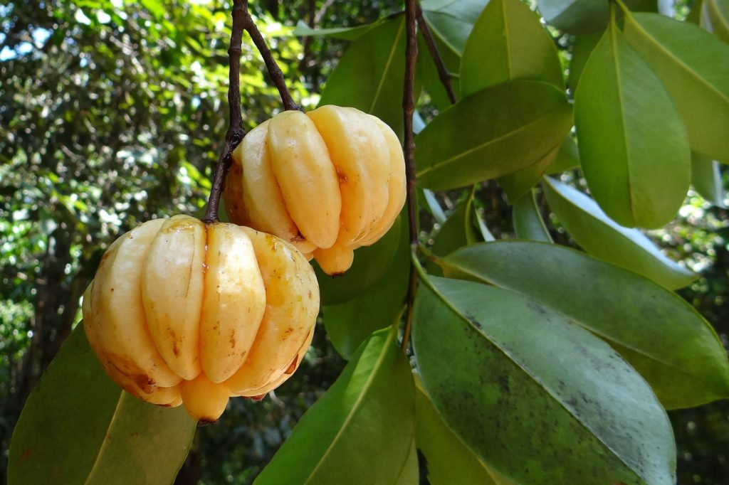 weight loss tea garcinia cambogia